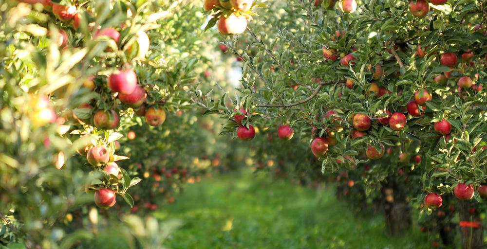 сад-яблока