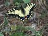 swallowtail _ Papillio machaon