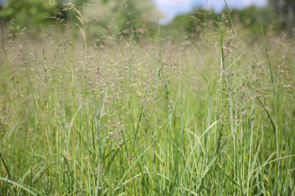аборигенні рослини